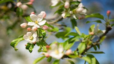 Blüten an einem Apfelbaum